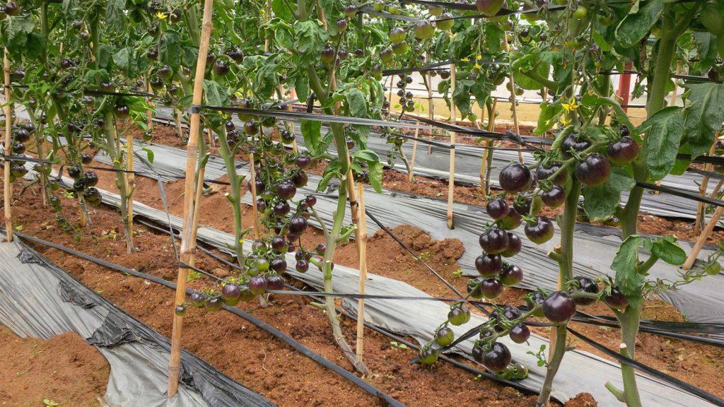 Tour tham quan sở thú Zoodoo Đà Lạt – Vườn cà chua đen