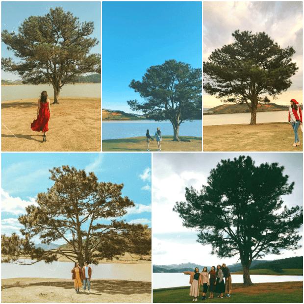 cây thông cô đơn tại Đà Lạt