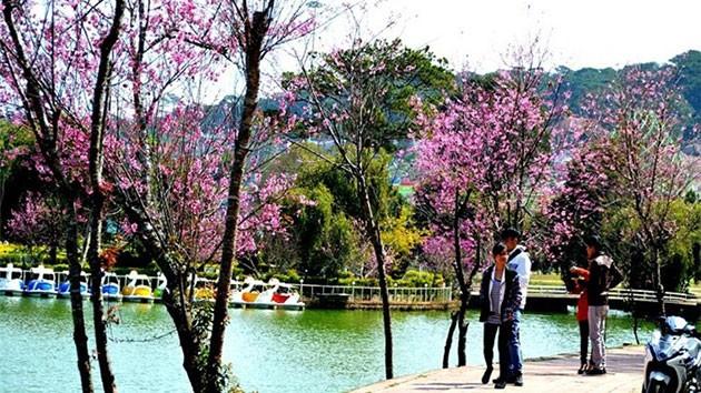 Mai anh đào Hồ Xuân Hương