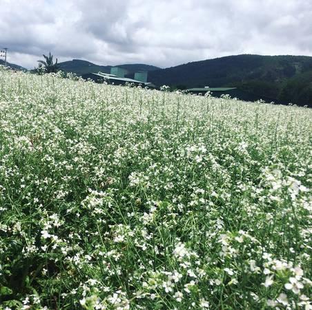 Cánh đông hoa cải trắng ở Đà Lạt