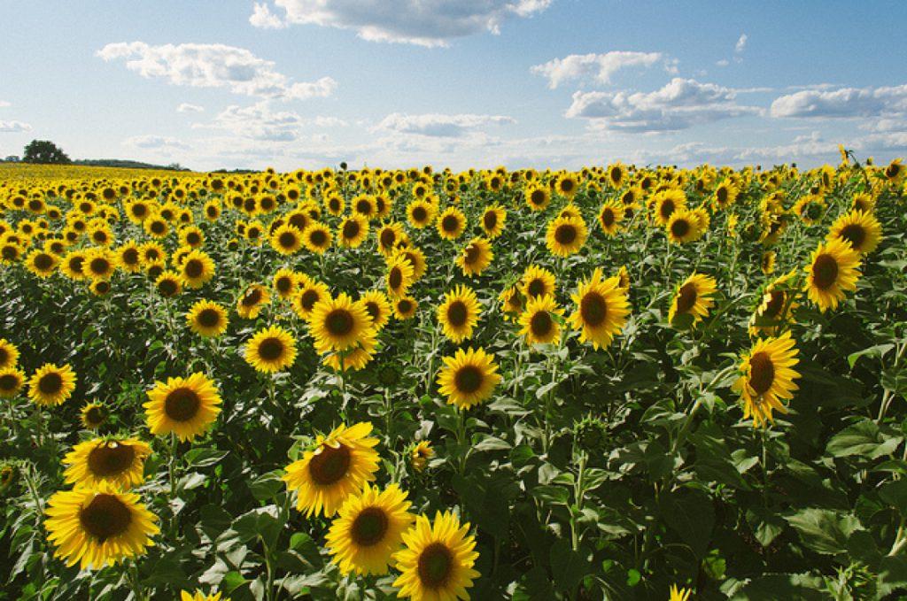 ảnh cánh đồng hoa hướng dương