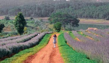 mùa hoa lavender Đà Lạt tháng 7